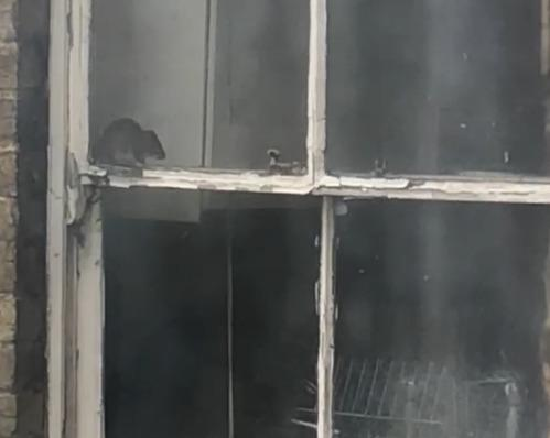 Invaded - one of the rats inside the kitchen of the home in Southend