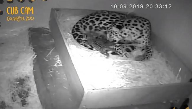 Endangered - Amur leopards have been born at Colchester Zoo. Picture: Colchester Zoo