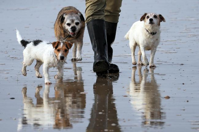 A man walks his dogs along the beach at Camber Sands in East Sussex