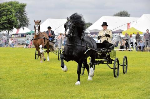 Galloping – wagon class Welsh ponies