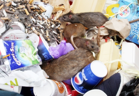 Fears over loose rubbish fueling rat infestation