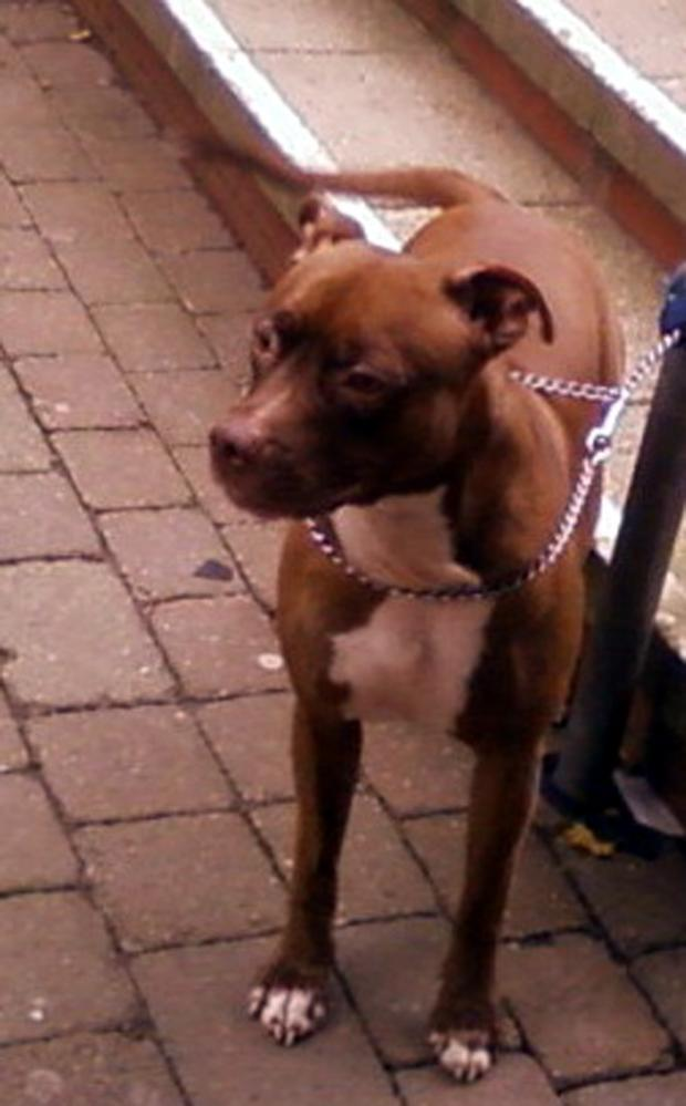 Echo: Woman robbed with pit bull (file picture)