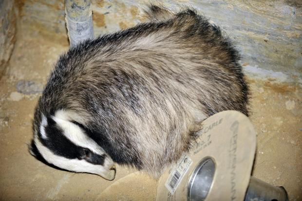 Echo: Rescuers create escape for sleepy badger
