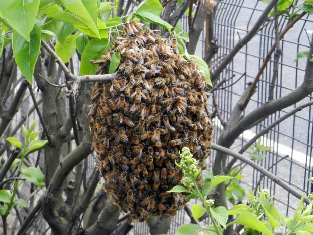 Echo: The bees swarming on Victoria Avenue
