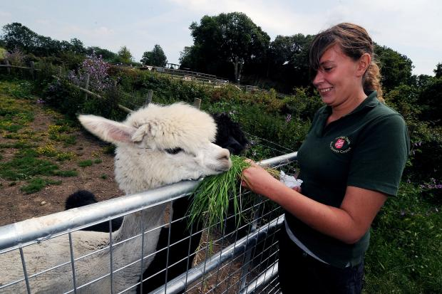 Visitors – Emma Sayer, Hadleigh Rare Breeds Centre manager with two of the alpacas, Valliant, left, and Coco, which are temporarily staying there after they were attacked in an enclosure at Wat Tyler Park, Pitsea