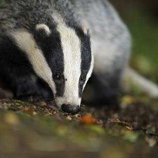 The Badger Trust sought