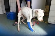 Dog found collapsed and starved in Canvey alleyway