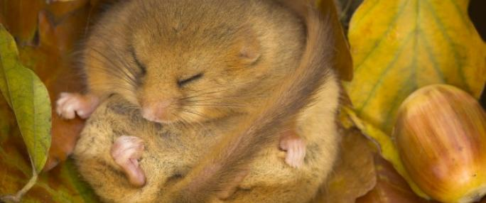 Essex Wildlife Trust- Dormouse Ecology & Surveying